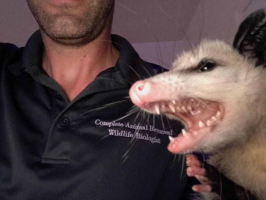 Opossum close up b