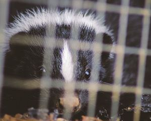 Skunk in crawl, skunk trapping, skunk removal, skunk damage