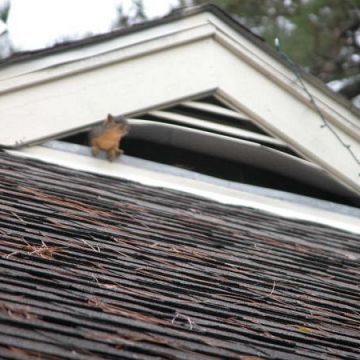 squirrel in roof vent