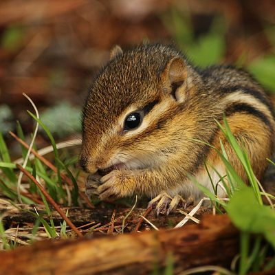 Chipmunk Removal in Tennessee