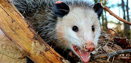 Identifying Opossums
