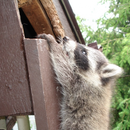 Raccoon on house