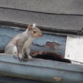 squirrel in gutter